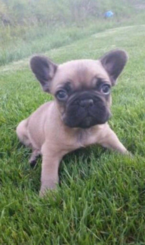 Sir Henry Susse Tiere Franzosische Bulldoggenbabys Babyhunde