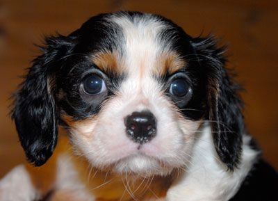 Cavalier King Charles Spaniels Puppies for sale North