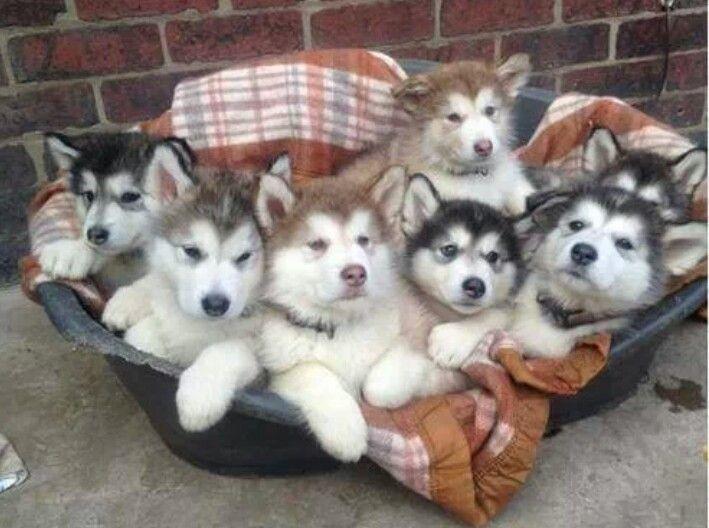 Litter Of Husky Puppies Alaskan Malamute Puppies Cute Baby Animals