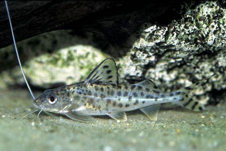 Pictus Cat Catfish Fish Pet Under The Sea