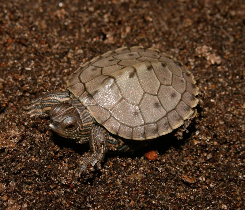 Baby Ouachita Map Turtles With Images Turtles For Sale Map