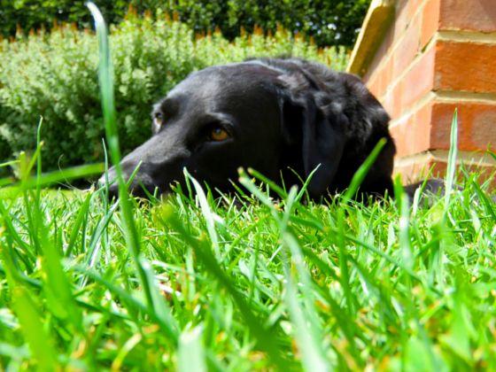 Black labrador resting in grass - stock photo
