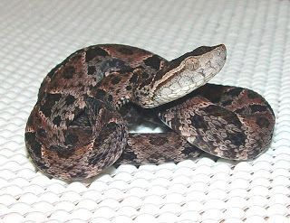 Principais Cobras Venenosas No Brasil Com Imagens Cobras