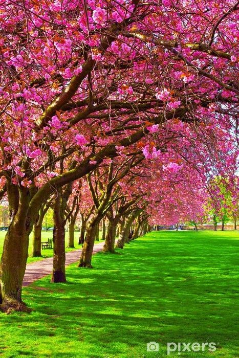Walk path surrounded with blossoming plum trees Wall Mural •…