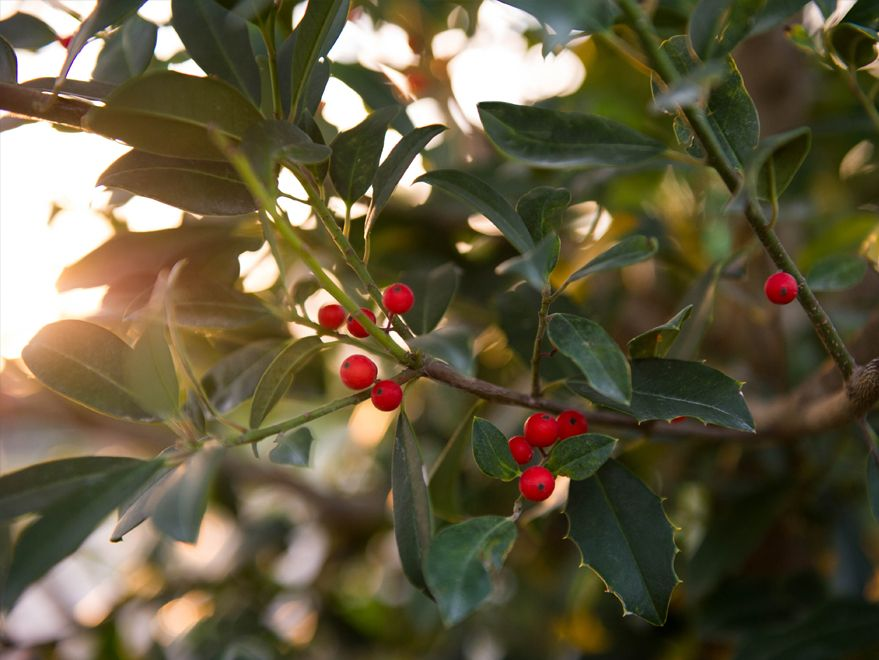 Eagleston Holly Dallas Texas Treeland Nursery Specimen Trees Small Trees Holly Tree
