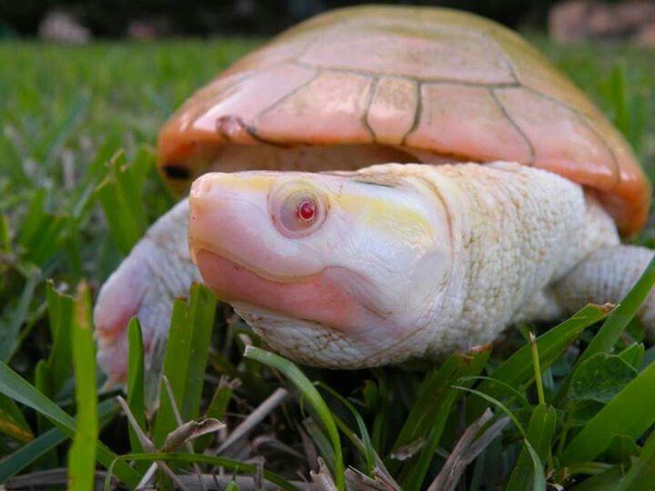 Albino Schildkröte