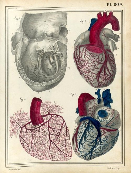 Jules Cloquet,1825 - Dissection of the heart, coronary vessels ...
