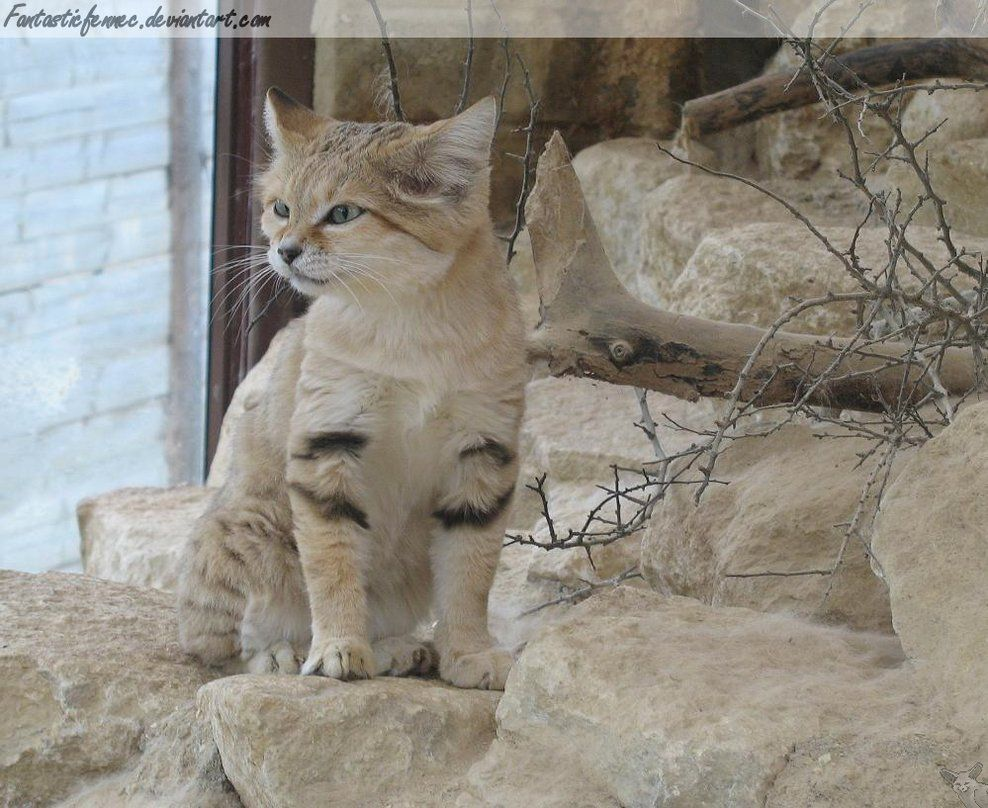 Sand Cat by FantasticFennec This is a photo of an Arabian