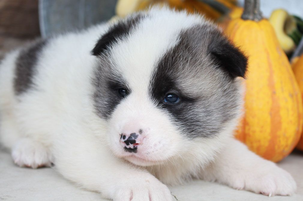 Dave An Akita Pup For Sale Near New Haven Indiana Puppies For