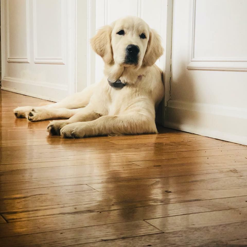 White lab puppies for sale in florida