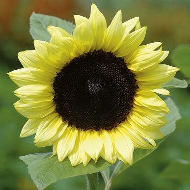 Procut Lemon F1 Sunflower Seed Johnny S Selected Seeds In 2020 Sunflower Flower Seeds Sunflower Seeds