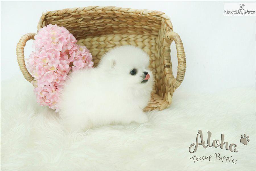 Boo Pomeranian Puppy For Sale Near Atlanta Georgia 91f5c203