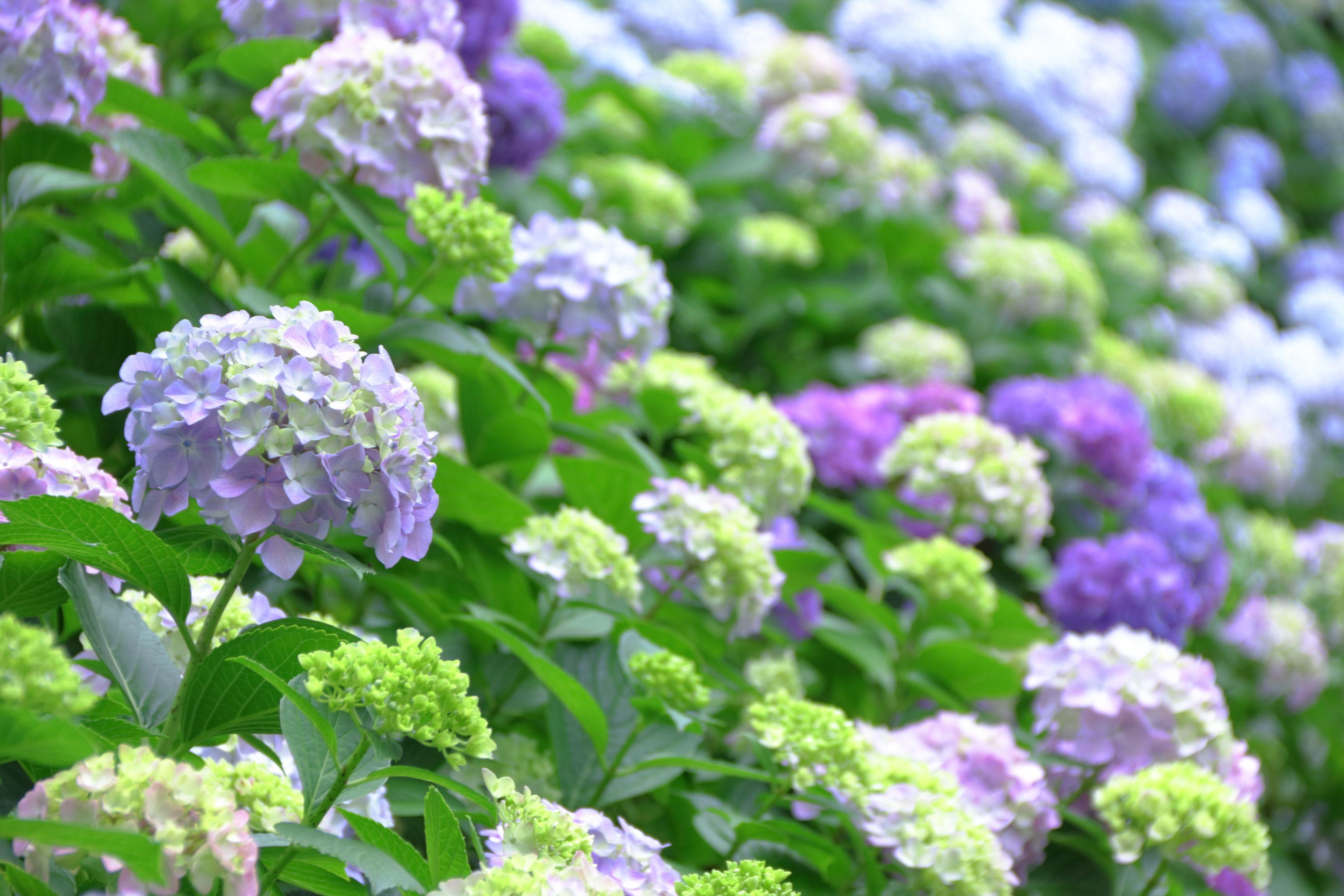 満開の紫陽花。