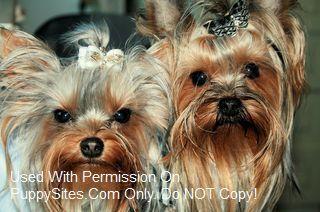 Yorkshire Terrier Dog Puppy Websites Yorkshire Terrier Yorkshire Terrier Dog Terrier Dogs