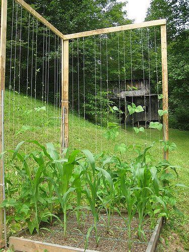jasons pole bean condo beans green beans and gardens