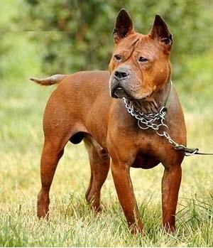 Chong Qing Dog Endangered Chinese Breed Dog Breeds Dogs Rare Dogs