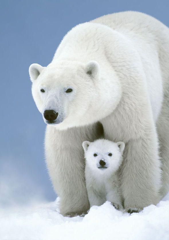 Polar Bear Dinner: An extraordinary documentary on Channel 4 #bears