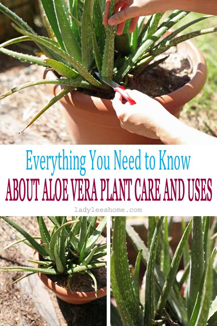 Growing Aloe Vera Growing Aloe Vera Plant Care Aloe Plant Care