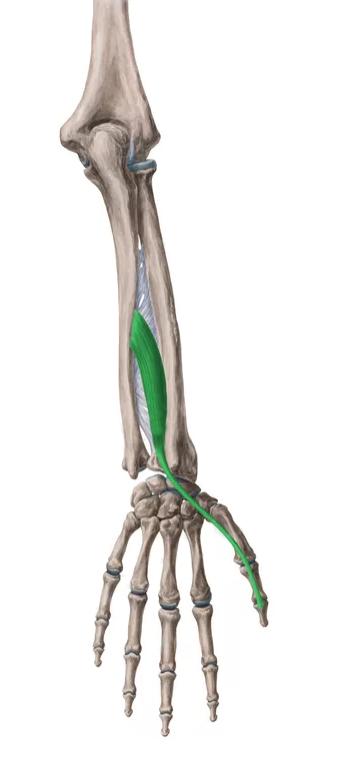 Vista 2 Extensor largo del pulgar | Anatomie | Pinterest | Músculos ...