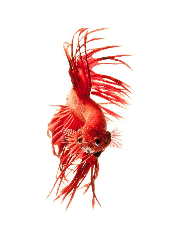 red betta by visarute angkatavanich on 500px   Fish Fight ...