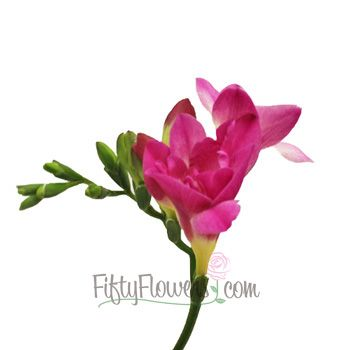 Berry pink designer freesia flower freesia flowers dark pink berry pink designer freesia flower mightylinksfo