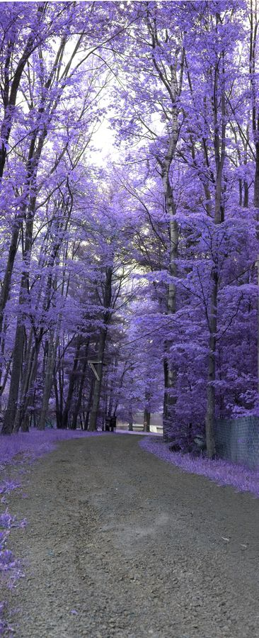 My kind of purple haze.... (Path down to Lake Bryn Mawr, PA by Hayden Greene.)