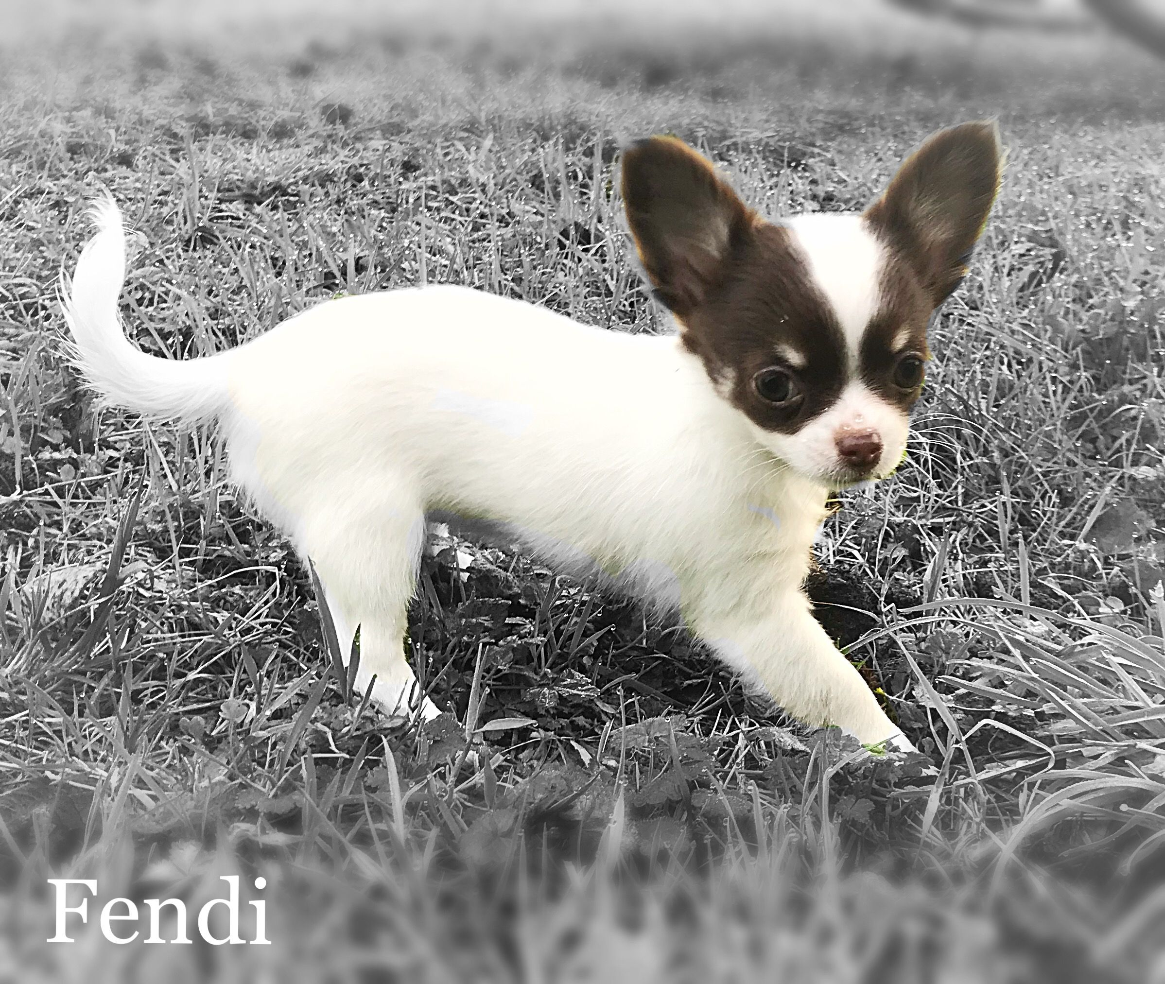 Pin By Shara Barr On Awww Chihuahua Puppies Chihuahua Dogs