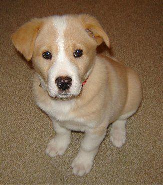 Welsh terrier full grown