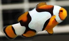 Saltwater Aquarium Clownfish Captive Bred Clownfish Designer Clownfish Clown Fish Saltwater Fish Tanks Saltwater Aquarium