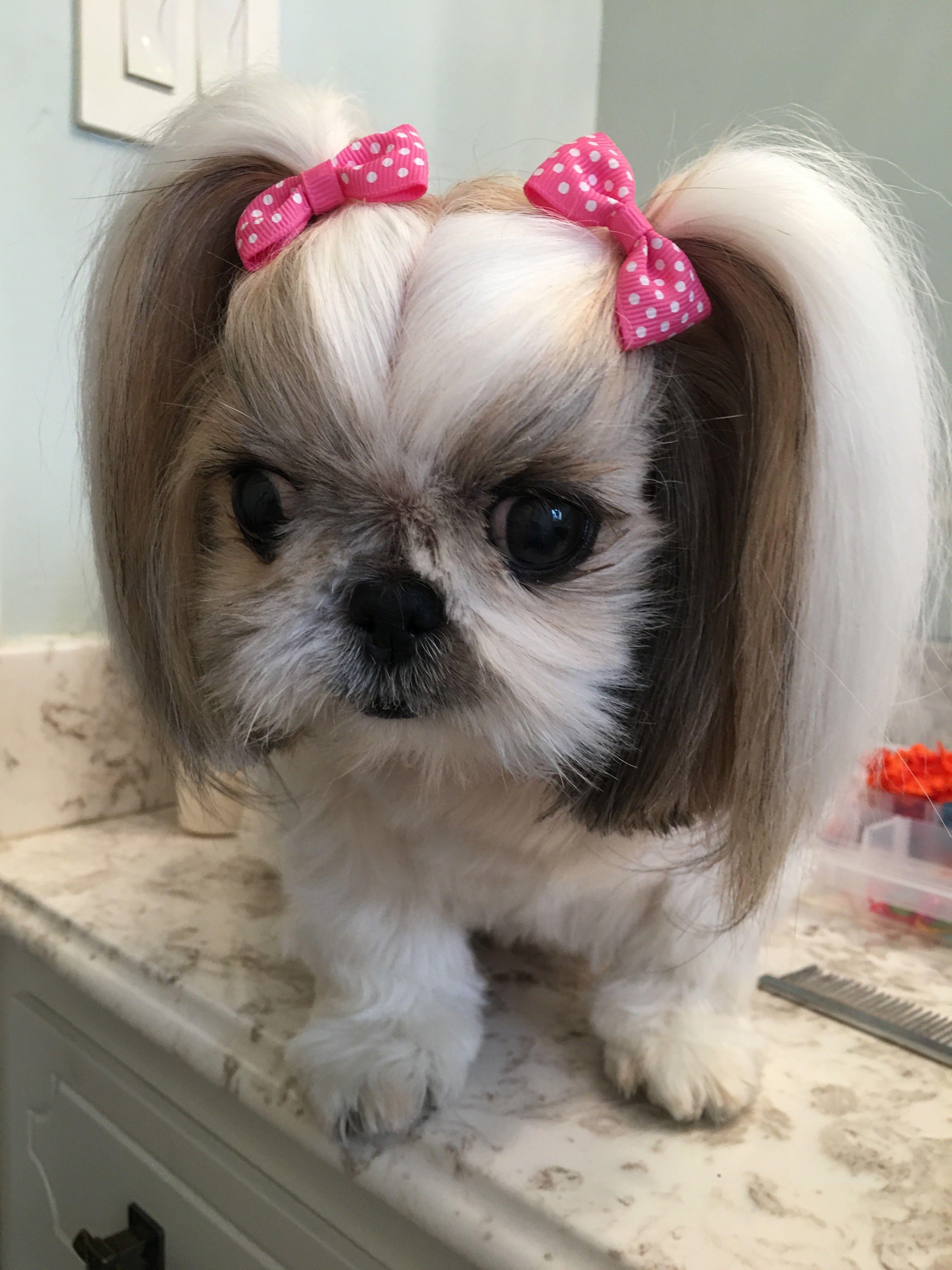Beautiful Little Shih Tzu Shihtzu Smalldog Shih Tzu Grooming
