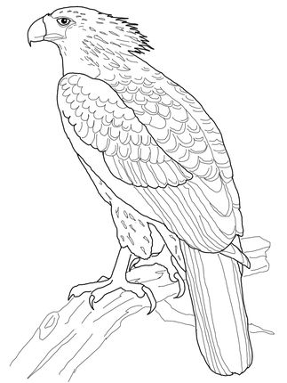 Philippine Eagle Coloring Page Design Chicken Coloring