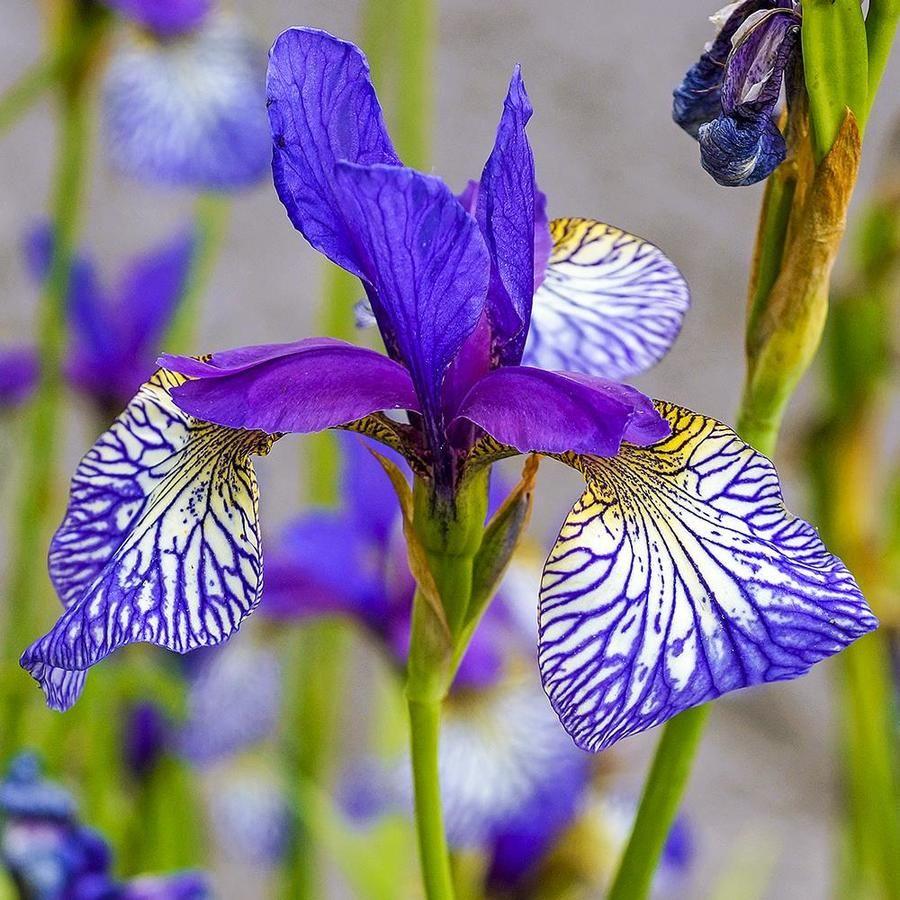 Gardens Alive Bareroot Shaker S Prayer Siberian Iris 88652 In 2020 Flowers Perennials Spring Hill Nursery Perennials