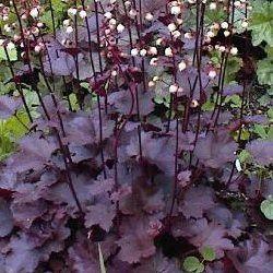 heuch re pourpre 39 palace purple 39 plantes vivaces pinterest. Black Bedroom Furniture Sets. Home Design Ideas