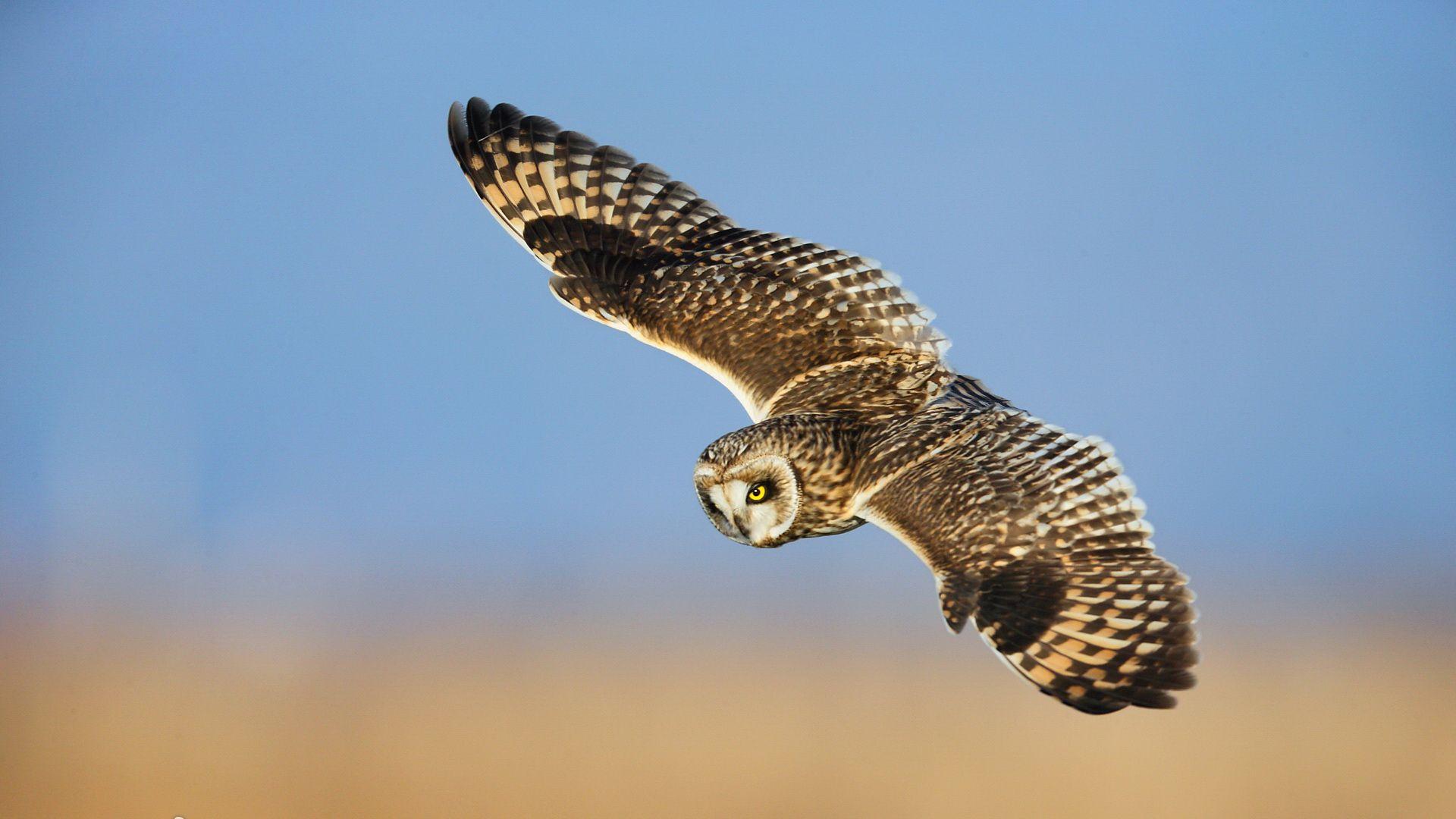 Pin By Cindy Bekker On Die Zauberhafte Tierwelt Von A Z S Short Eared Owl Owl Bird Wallpaper