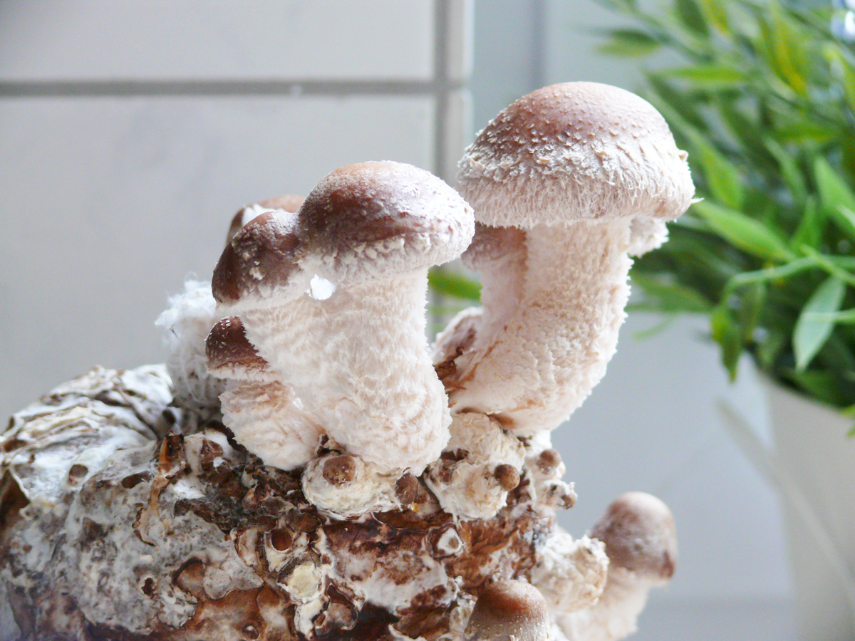 die besten 25 pilzbrut ideen auf pinterest pilze z chten pilze selber z chten und pilze anbauen. Black Bedroom Furniture Sets. Home Design Ideas