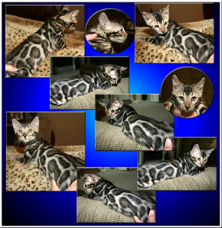 Bengal Cat Bengal Kitten Bengal Cat Bengal Kittens For Sale