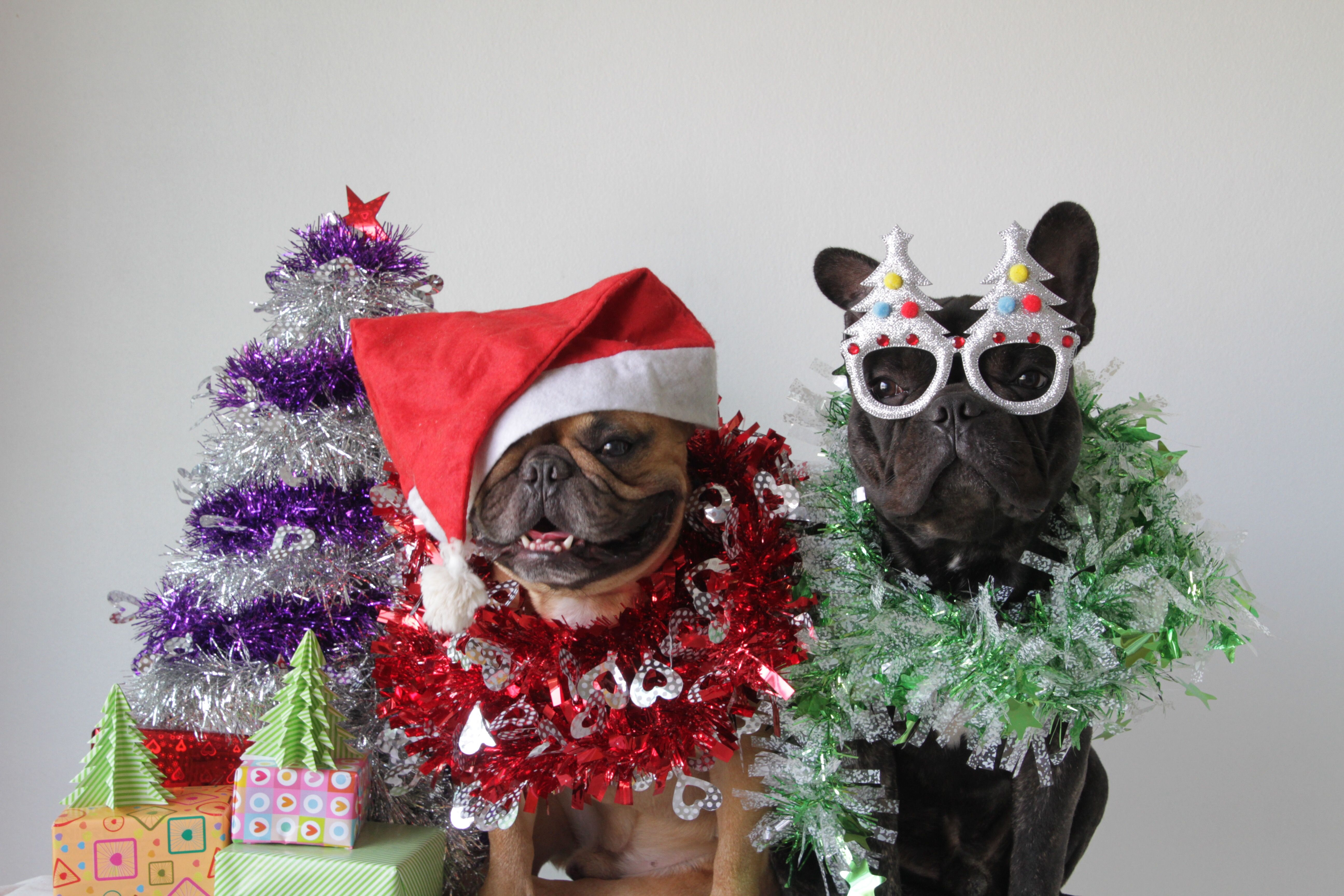 French Bulldogs At Christmas Puppies And Kitties French Bulldog Blue Christmas Dog