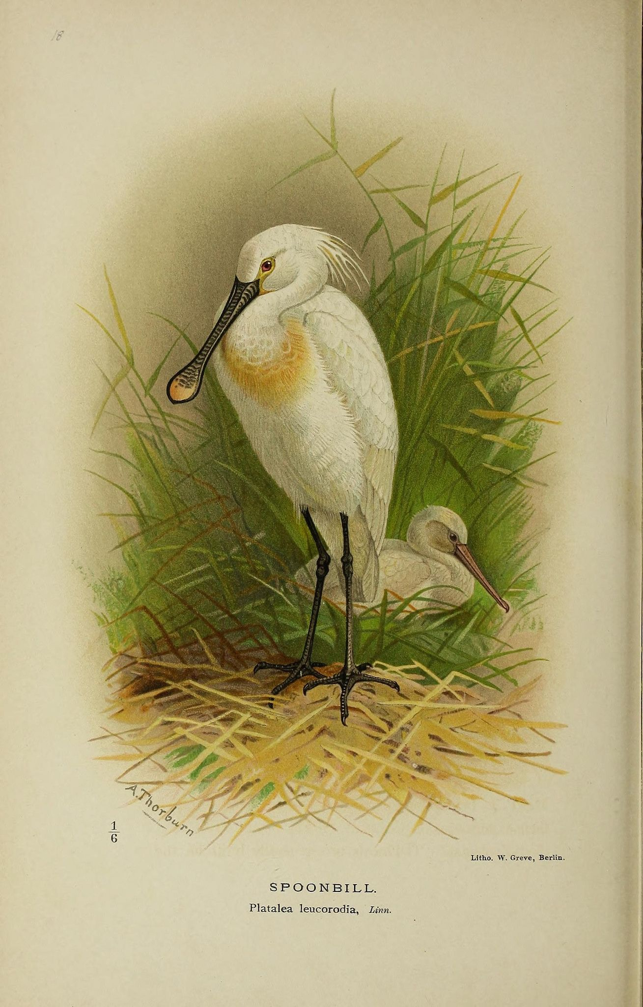 https://flic.kr/p/xj2FE2 | n101_w1150 | Coloured figures of the birds of the British Islands / issued by Lord Lilford.. London :R. H. Porter,1885-1897.. biodiversitylibrary.org/page/43078730