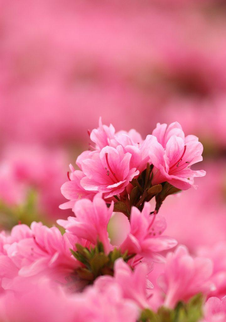 Pink Azalea Pink Azaleas Beautiful Flowers Flower Phone Wallpaper