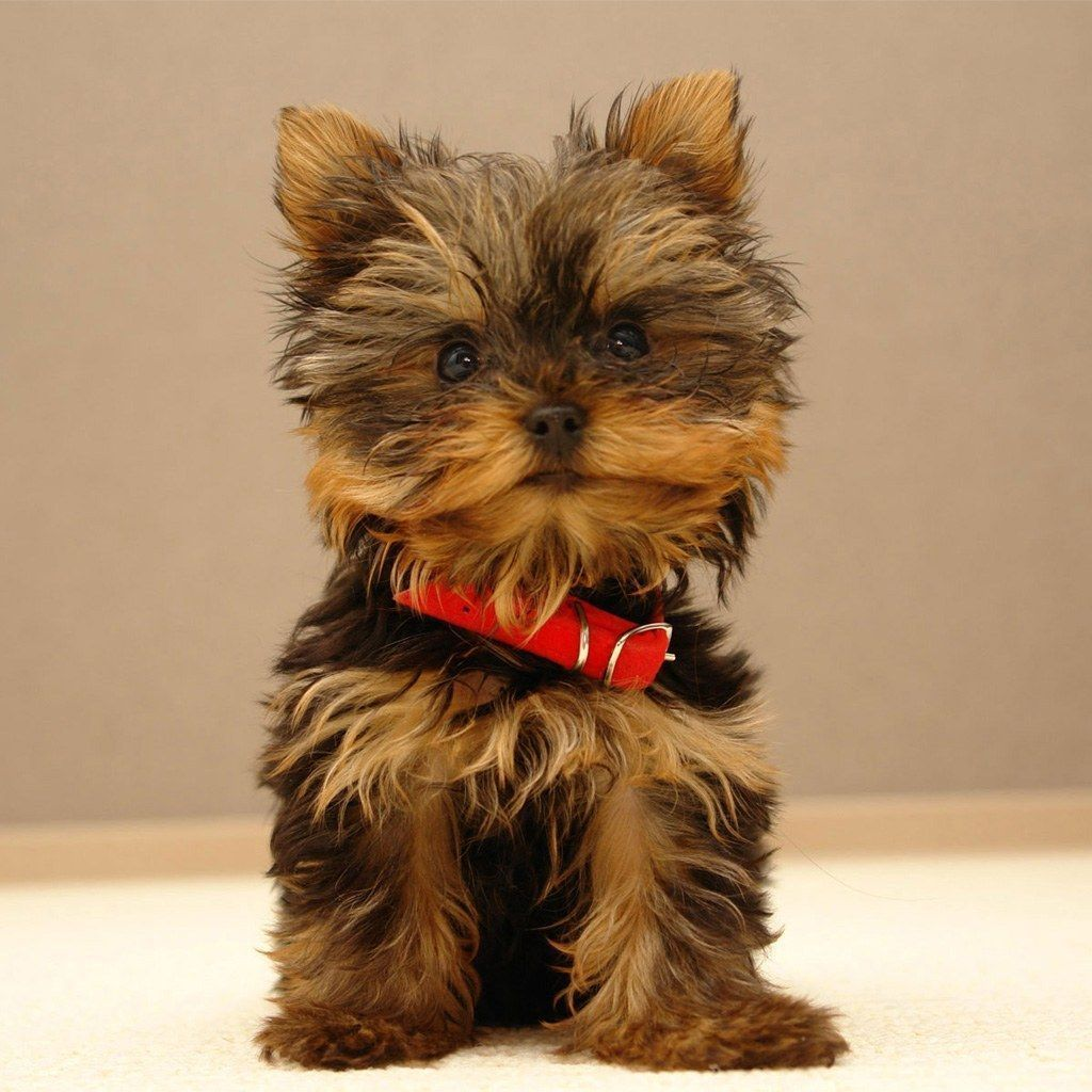 Yorkie Puppies For Sale Yorkshire Terrier Breeders AKC