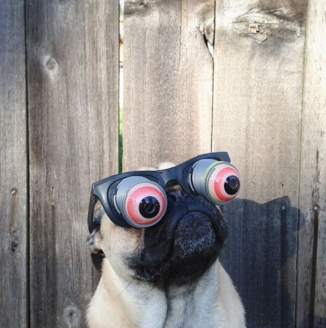 パグ犬のおもしろめがね画像