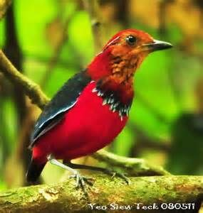 Blue-banded Pitta: endemic to the island of Borneo. BirdForum Opus