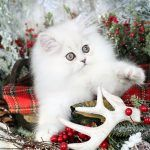 Available KittensUltra Rare Persian Kittens For Sale – (660) 292-2222 – Located in Northern Missouri (Shipping Available)