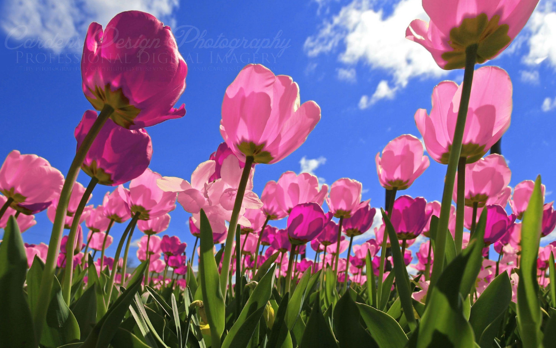 Tulips Wallpapers Best