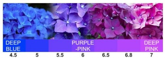 Change Color Hydrangeas Blue Or Pink Video Instructions Planting