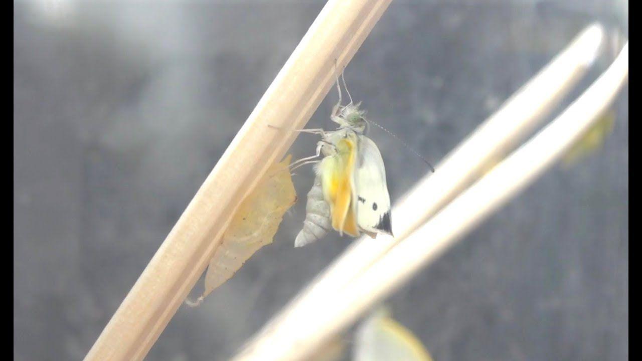美しい蝶へと羽化する瞬間の撮影に成功 超神秘的 Vlog271 画像