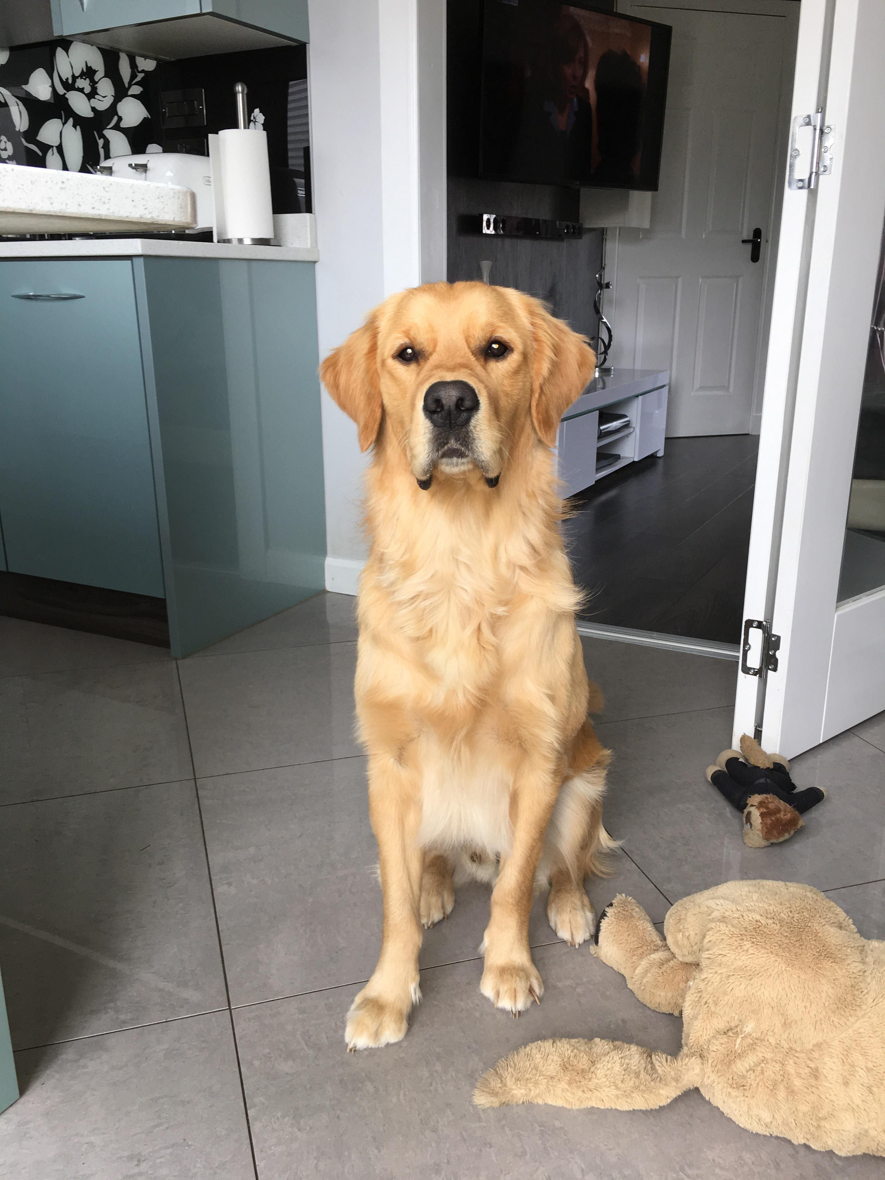 My Gorgeous Boy Just Turned A Year Old Golden Retriever Dogs