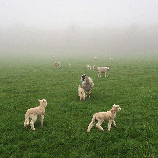 Fog - check. Lambs - check.  Good day ahead - check.