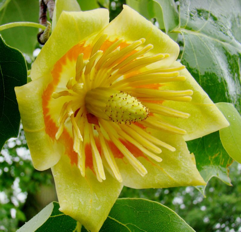 Flower Garden For Dummies: Tulip Tree (Liriodendron Tulipifera) The Native Tree Of