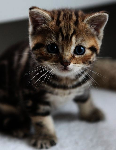 Interesting Cute Cats Pictures Free Download Kittens Cutest